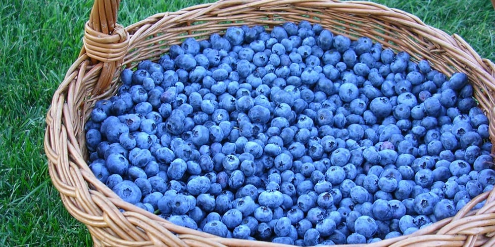 blueberries Eat blueberries to live a longer life