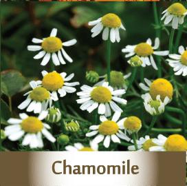 chamomile2