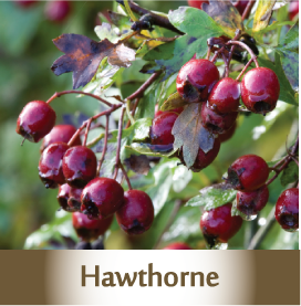 hawthorne spagyric