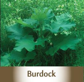 Burdock Spagyric