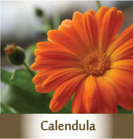Calendula2 Botanicals