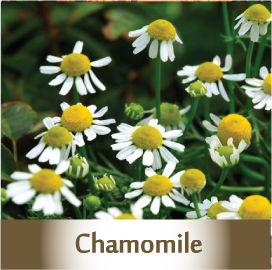 chamomile spagyric