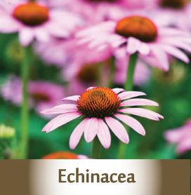 echinacea spagyric