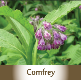 comfrey2 Botanicals