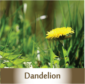 Dandelion Spagyric