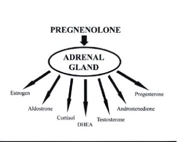 pregnenolone cascade 1 Adrenal Fatigue and Pregnenolone (Free Report)