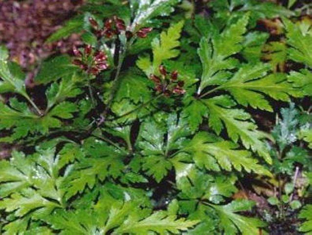 Coptis chinensis Zyflamend 120 veg caps