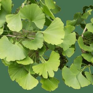 Ginkgo tree removebg preview Ginkgo Extract 1oz/4oz