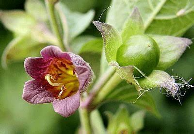 belladonna plant Belladonna
