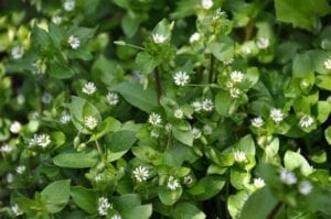 chickweed Chickweed Extract 1oz/4oz