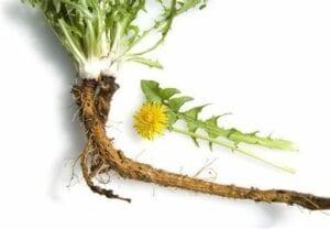 dandelion Dandelion Root 1oz/4oz