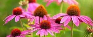 echinacea Echinacea Goldenseal Supreme
