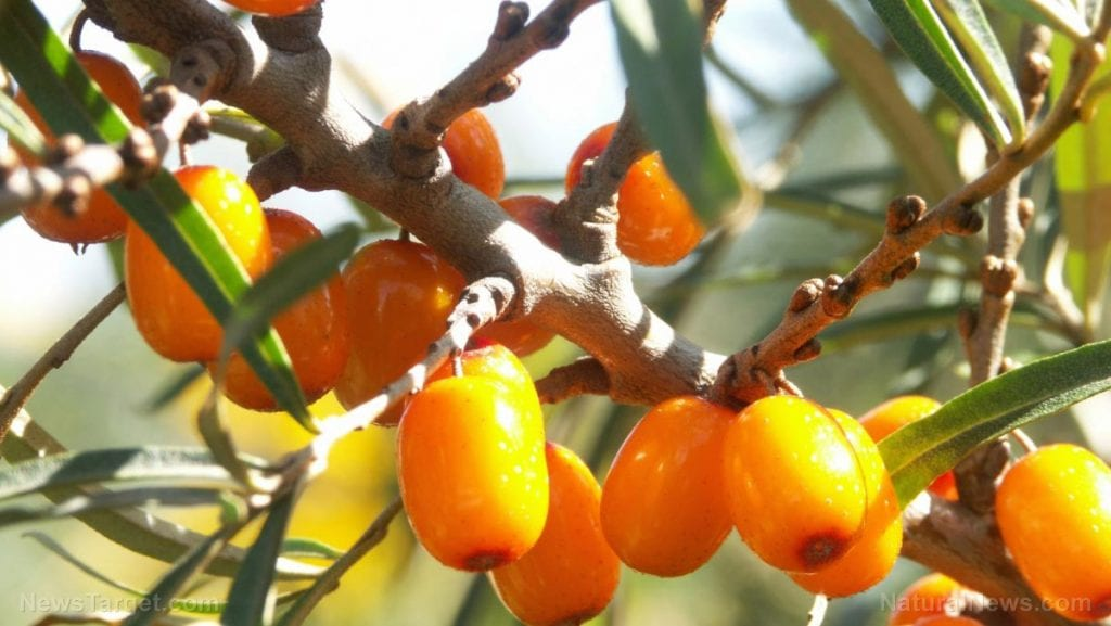 Sea Buckthorn Sea buckthorn leaf and twig extracts found to have antioxidant and anticoagulant activities