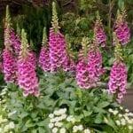foxglove Botanicals