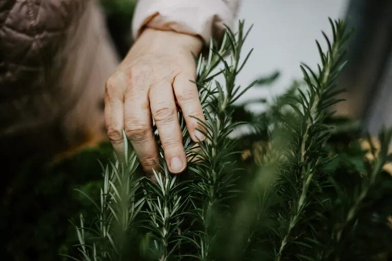 elderly woman touches and harvest the rosemary Engage the senses with a sensory garden