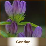 Gentian