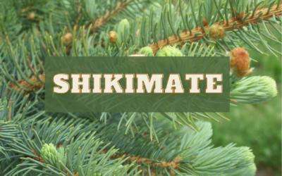 Homemade Pine Needle Tea (Shikimate) Antidote for Spike Protein Transmission, Shedding
